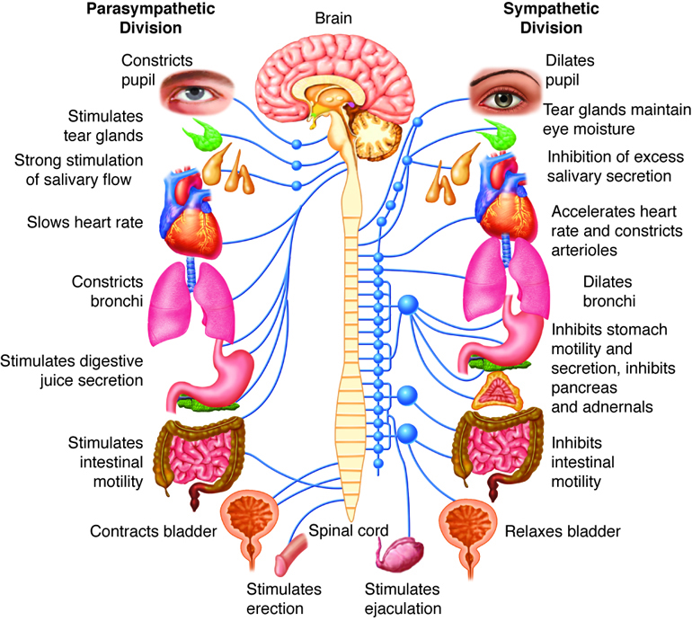 following and ans Quiz: the autonomic nervous system anatomy and physiology test prep review quiz: what is anatomy and physiology atoms.